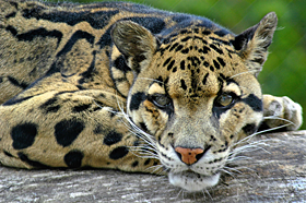 Clouded Leopard Photo